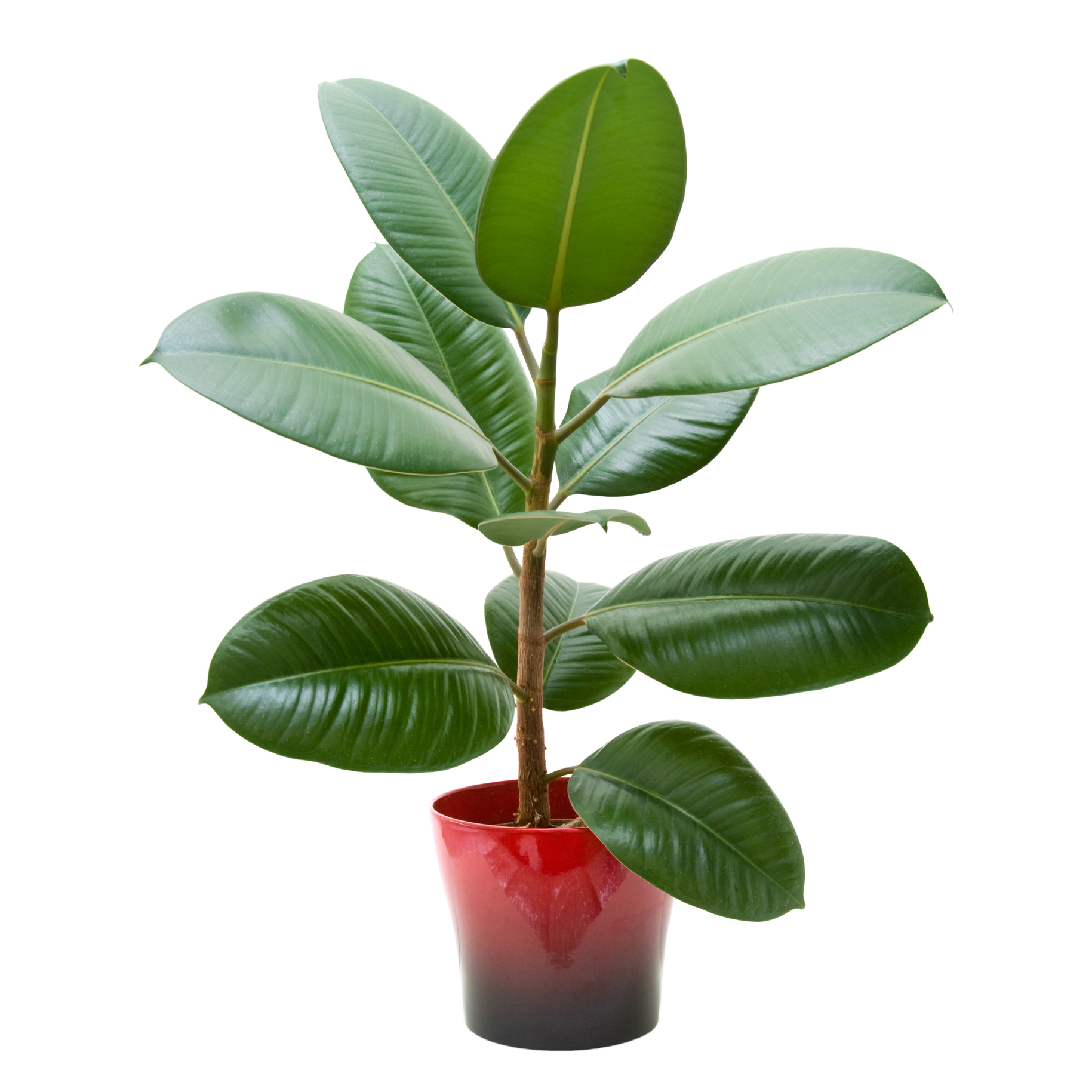 Rubber plant on white background