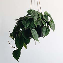 Hanging pothos plant against wall