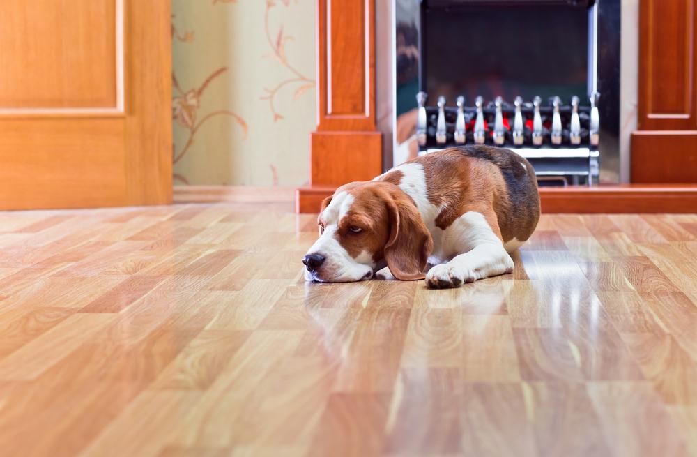Pet dog on laminate flooring